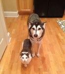 husky vs gato
